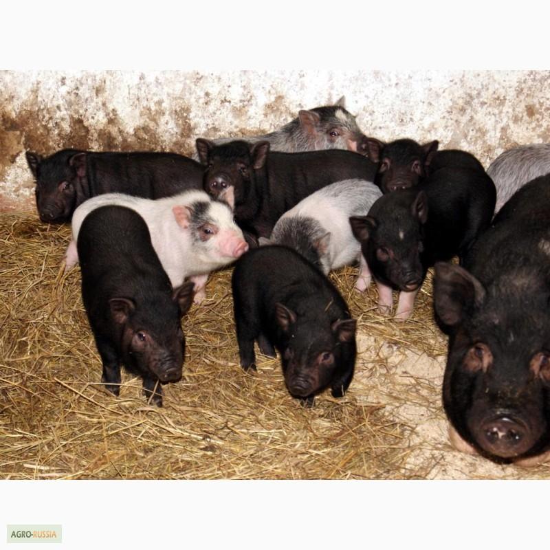 содержимого вьетнамские вислобрюхие свиньи породистые диски Барнауле Приобрести