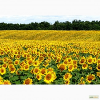 Гибриды семена подсолнечника - Сингента НК Неома, Тристан, Фортими - Clearfield