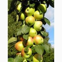 Саженцы колоновидной яблони Арбат, Валюта, Джина, Останкино