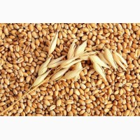 Закупаем пшеницу в Марий Эл