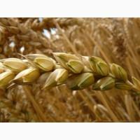 СРОЧНО продам Семена пшеницы Канадский ярый трансгенный сорт твердой пшеницы DENTON