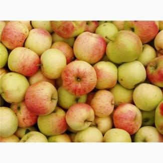 Закупаем Яблоки на переработку (падалица)