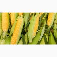 Гибриды семена кукурузы НК Фалькон, Нерисса, Делитоп (Сингента, Syngenta)