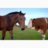 Закупаем КРС, лошадей