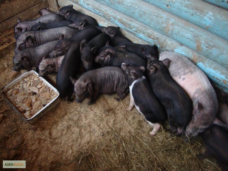 вьетнамские вислобрюхие свиньи развод содержание отзывы видео