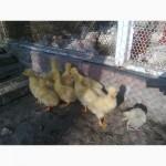Продам гусиные яйца инкубационные. Гусят