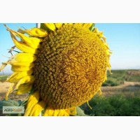 Гибриды семена подсолнечника Мегасан, Тунка, LG5580, ЛГ 5550, ЛГ 5485 (Лимагрен, Limagrain)