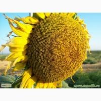 Гибриды семян подсолнечника НК Конди Сингента (Syngenta)