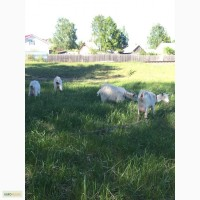 Срочно продам молодых дойных коз и козлят альпийско-нубийская порода
