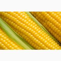 Семена кукурузы П7709, П8400, ПР37Н01, ПР39Д81, ПР39Ф58, ПР39Х32