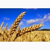 Семена озимой пшеницы сорт Безостая 100