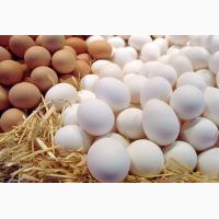 Инкубационное яйцо, кур, перепелов, индеек, гусей, уток, цесарок, куропаток, павлинов