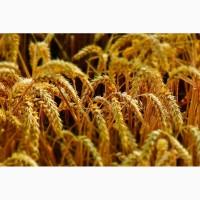 Срочно продам семена пшеницы Канадский трансгенный сорт мягкой пшеницы двуручки АMADEO