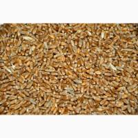 Пшеница 5 класс, 600 тонн