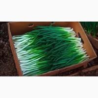Лук перо зелень