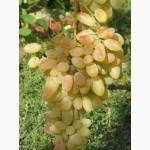 Саженцы и черенки винограда новосибирска