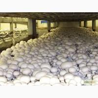 Готовое производство грибов вешенка и шампиньонов с оборудованием