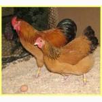 Инкубационное Яйцо Несушек СУТОЧНАЯ-ПОДРОЩЕННАЯ доминанты ОТПРАВКА в РЕГИОНЫ