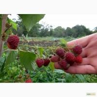 Саженцы винограда и малины