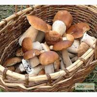 Свежий Белый гриб