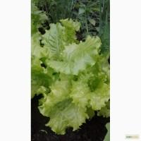 Продам салат, сорт Кучерявец одесский