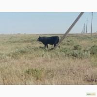 Продадим бычков 2018 г.р