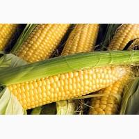 Гибриды семена кукурузы ДКС 3511, ДКС 4014 (Монсанта, Monsanto)