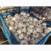 Продам чеснок урожай 2018 года