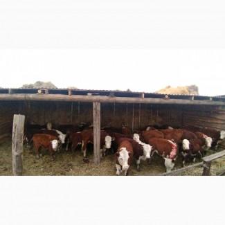 Телята бычки породы Герефорд