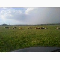 Продам корову, теленка, быка