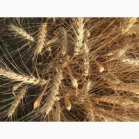 Семена озимой мягкой пшеницы сорт Лидия ЭС