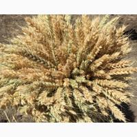 Семена озимой мягкой пшеницы сорт Гром РС1