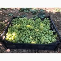 Виноград Кишмиш белый(без косточек) оптом из Турции напрямую от производителя