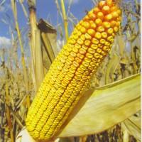 Семена кукурузы Краснодарский 291 и др