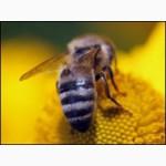 Пчелопакеты 2016 Томск карпатская порода среднерусская