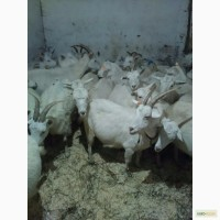 Зааненские козы стадо. Продам и по отдельности