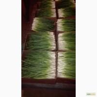 Продаем зеленый лук