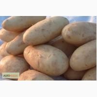 Картофель Египет