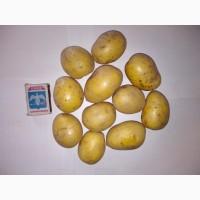 Картофель продовольственный сорт Гала 4