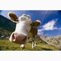 КРС коровы (самовывоз)