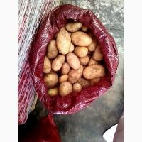 Предлагаем продовольственный картофель из Египта, сорт Спунта оптом