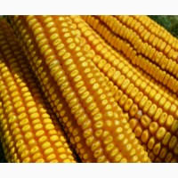 Продам Гибрид кукурузы РОСС 199 МВ