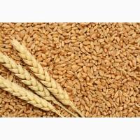 Продам Семена пшеницы ZELMA канадский ярый трансгенный сорт (элита)