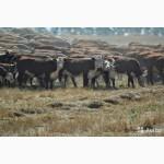 Продаются племенные телки породы герефорд 280-350 кг