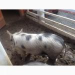 Продам свиней дешево