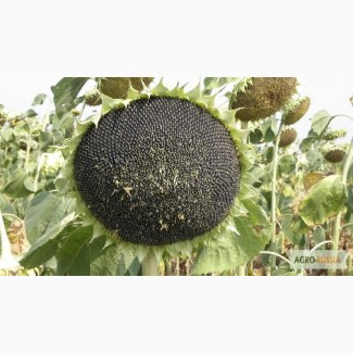 Гибриды семена подсолнечника Пионер ПР64Ф66, ПР64Ф50, ПР63А90