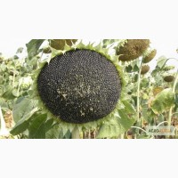Гибриды семян подсолнечника ПР63А90 (Pioneer)