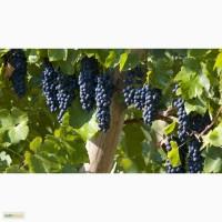 Принимаем заявки на осень 2017г, на черенки зимостойкого винограда