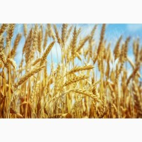 Элитные семена озимой пшеницы