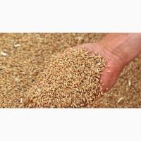 Пшеница 3-4 класс 2018
